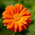 Цвет календулы