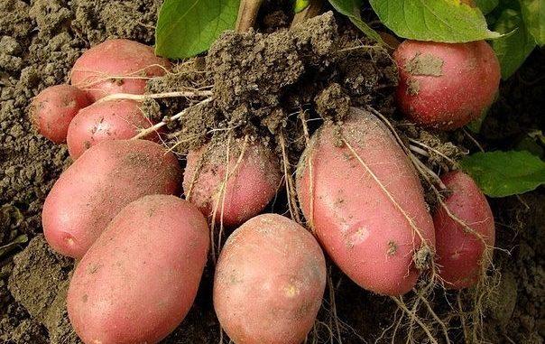 Картофель врачует от болезней
